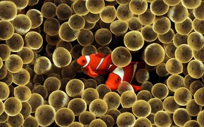 Golden Clown Fish wallpaper