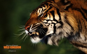 Angry Tiger wallpaper