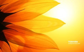 Toshiba sunflower wallpaper