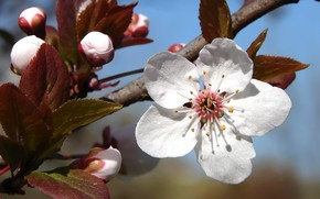Plum tree blossoms wallpaper