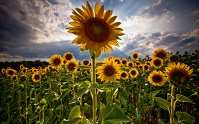 Amazing Sunflowers wallpaper