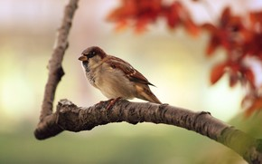 Sparrow Resting wallpaper
