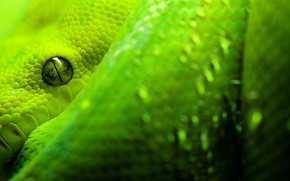 Morelia Viridis wallpaper