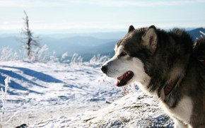 Malamute Dog wallpaper