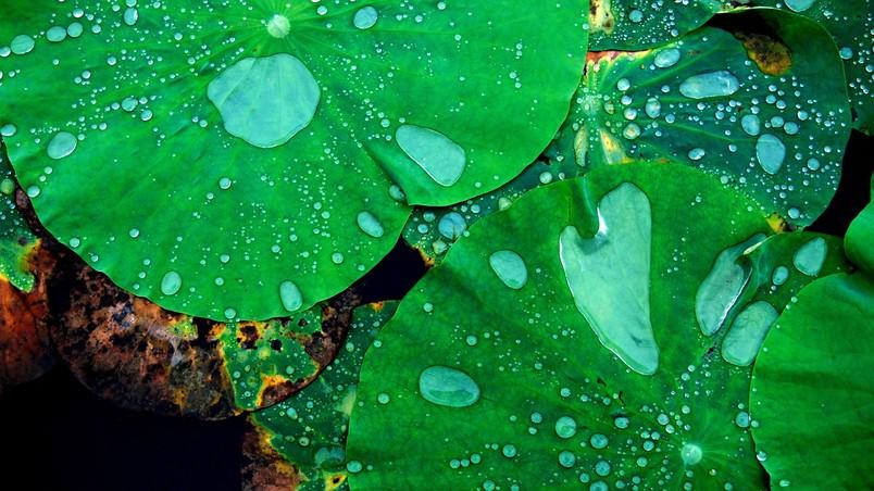 Beautiful Lotus Plant Wallpaper