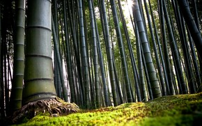Forest Bamboo wallpaper