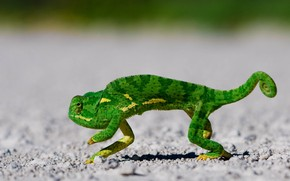 Dancing Lizard wallpaper