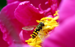Syrphid Fly wallpaper