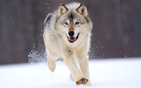 Running Wolf wallpaper