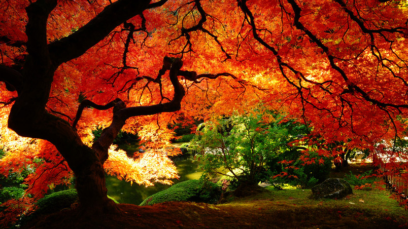 Maple in Autumn wallpaper