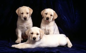 Three Labradors wallpaper
