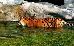Tiger in Water wallpaper