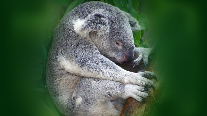 Koala Sleeping HD Wallpaper - WallpaperFX