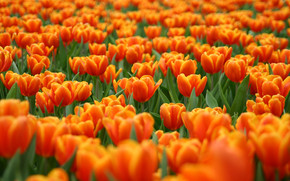 Orange Tulips wallpaper