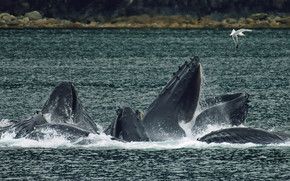 Whales bubble net feeding wallpaper