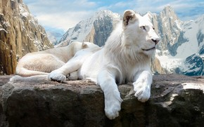 White Lions wallpaper