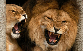 Angry Lions