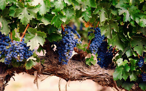 Blue Grapes wallpaper