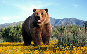 Amazing Grizzly Bear wallpaper