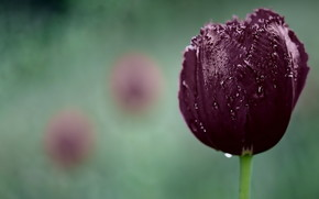 Dark Purple Tulip wallpaper
