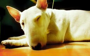 Cute Bull Terrier