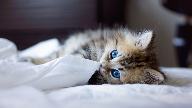 Kitty with Blue Eyes wallpaper