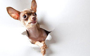 Curious Chihuahua wallpaper