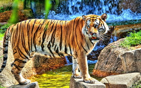 HDR Young Tiger wallpaper