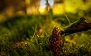 Fir Cone wallpaper