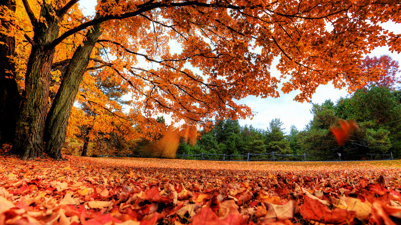 Autumn Maple Tree wallpaper