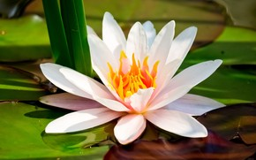 Water Lily wallpaper