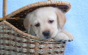 Cute Labrador Puppy wallpaper