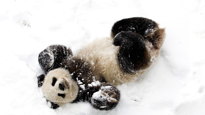 Cute Baby Panda Hd Wallpaper Wallpaperfx