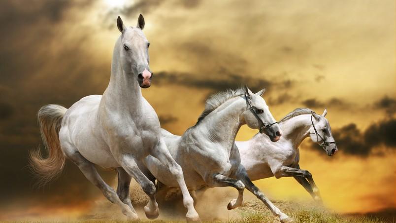 Wilde White Horses Hd Wallpaper Wallpaperfx