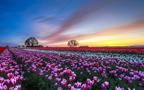 White and Purple Tulips Field wallpaper