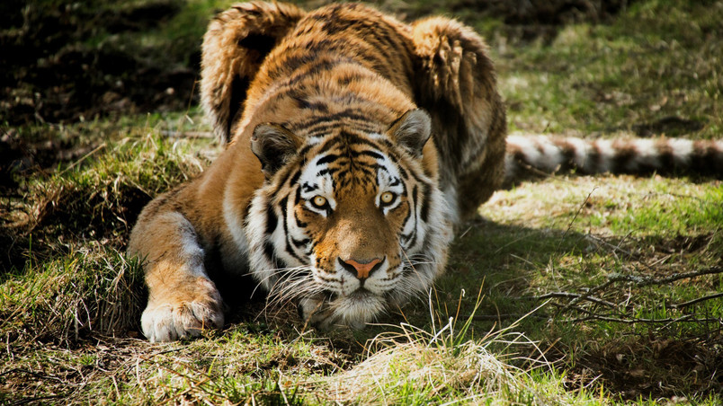 Tiger Ready To Attack Hd Wallpaper Wallpaperfx