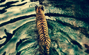Beautiful Tiger in Water wallpaper