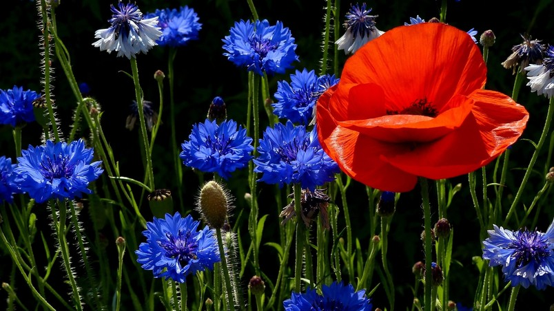 Poppies and Cornflowers wallpaper