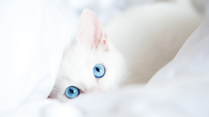White Kitty with Blue Eyes wallpaper