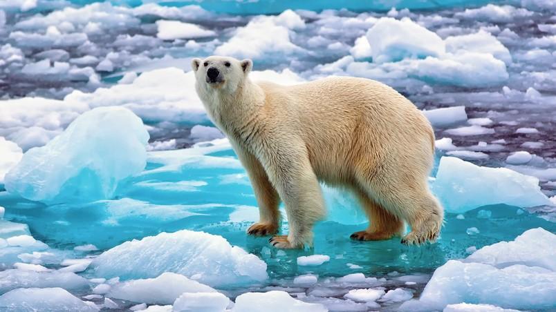 Polar Bear In Norway HD Wallpaper