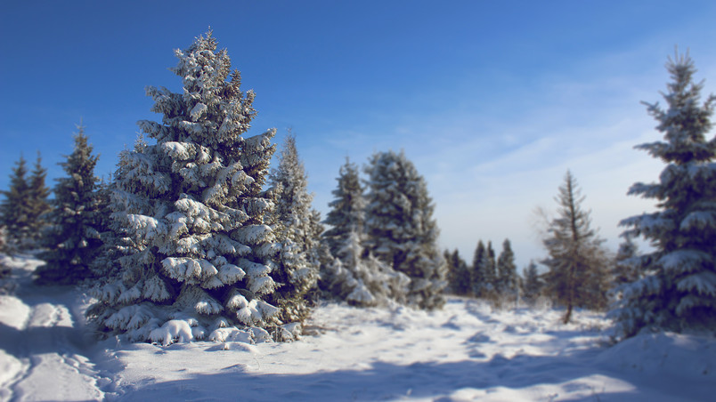 Snowed Fir wallpaper
