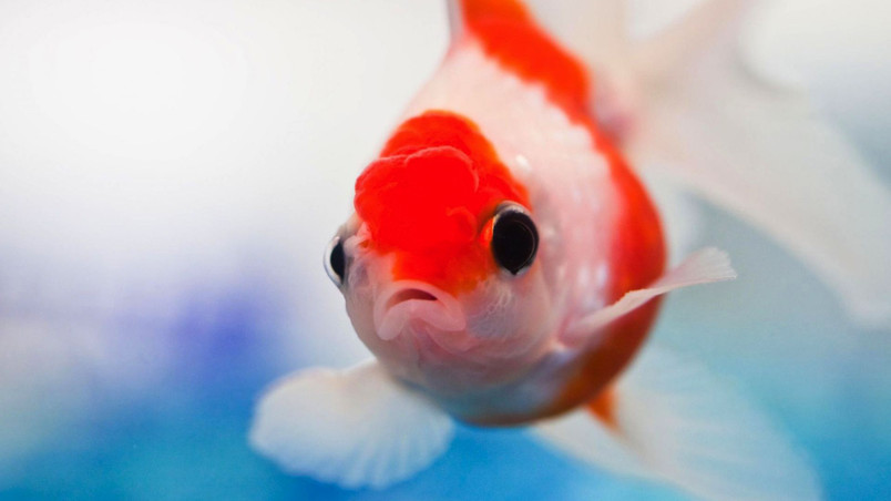 Red and White Small Fish wallpaper