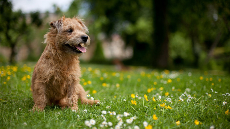 Glen of Imaal Terrier wallpaper