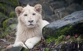 White Lion Cub wallpaper