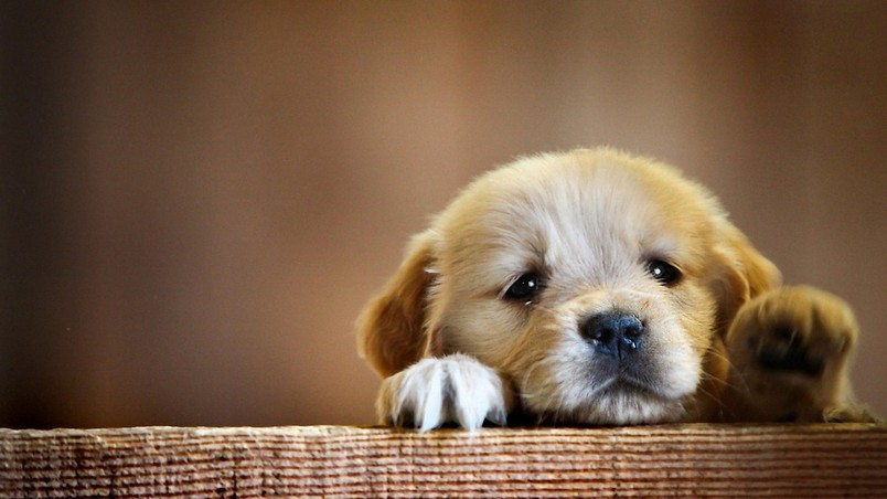 Very Cute Little Puppy wallpaper