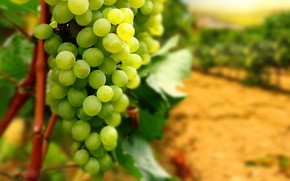 White Grapes wallpaper