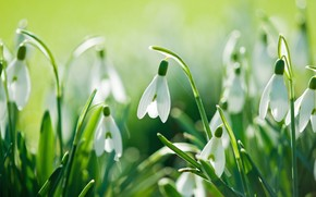 Beautiful Snowdrops wallpaper