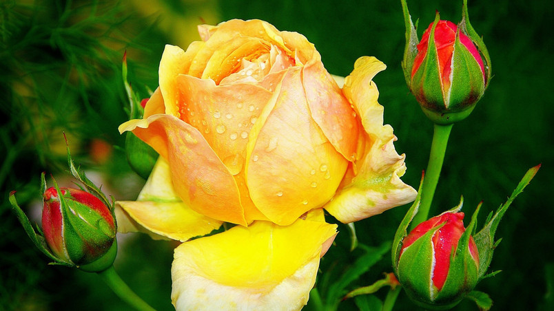 Beautiful yellow rose hd wallpaper wallpaperfx - Yellow rose images hd ...