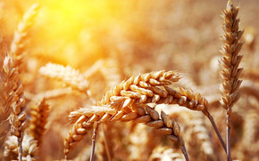 Ear of wheat on sunset wallpaper