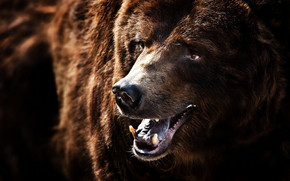 Big Brown Bear wallpaper
